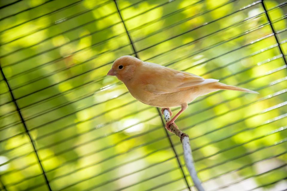 Kanarienvogel-orange