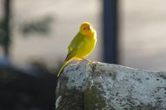 Kanarienvogel-gelb