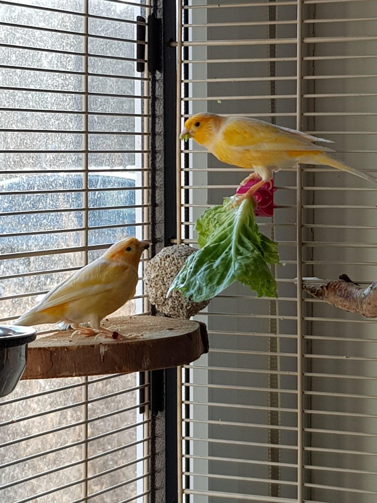 Kanrienvögel-zur-Vermitttlung-20200127